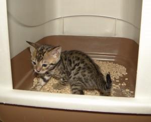 Jak nauczyć młodego kota korzystać z kuwety
