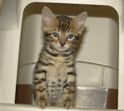 młody kot uczy się korzystać z kuwety
